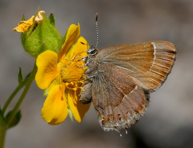While at first glance, this hedgerow hairstreak seems to be a mundane brown color, up close one can see a scattering of lavender scales on its hindwing as well as the bolder markings near the tail used to divert predators from attacking its body.