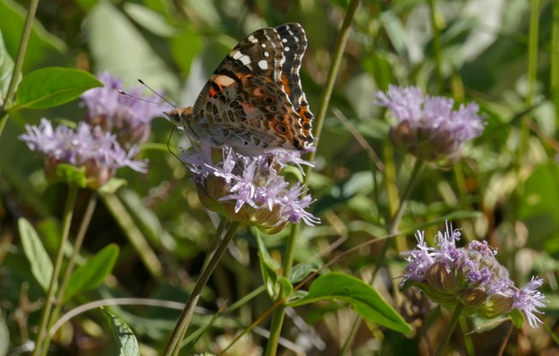 A painted lady on coyote mint