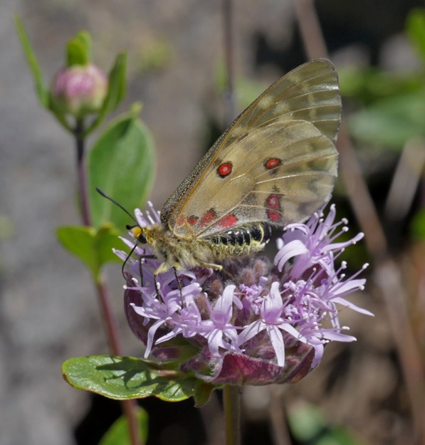 A lovely Clodius parnassian on coyote mint