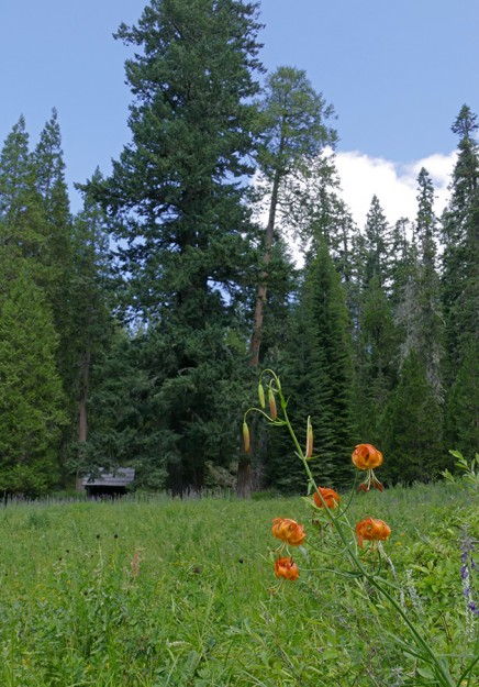 An immense tree towers over the Cripple Camp shelter. Leopard lilies and tall larkspur bloom in the wet meadow in front of the shelter.