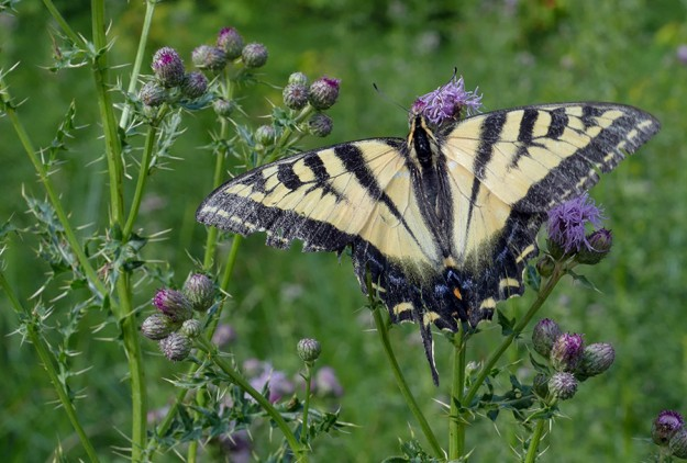 A tattered tiger swallowtail nectaring on non-native Canada thistle at Cliff Lake.