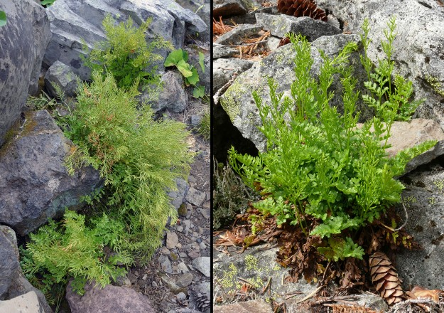 Left: Cascade parsley fern in the Calapooyas; Right: American parsley fern at Table Rock Wilderness