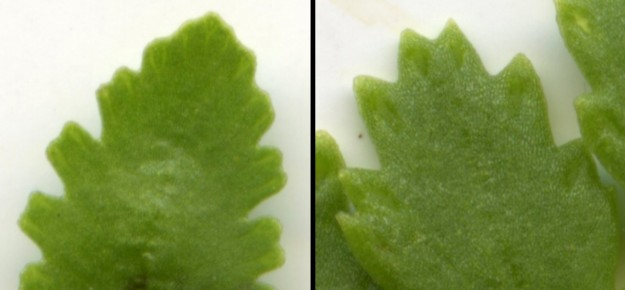 The hydathodes are are the different areas of tissue out near the ends of the veins. Left: Cascade parsley fern has small hydathodes that show up as lighter areas. They are best seen by looking at the fronds against the light; Right: American parsley fern has larger hydathodes. Its leaves are thicker, and the hydathodes aren't as thick, so they form a small depression.