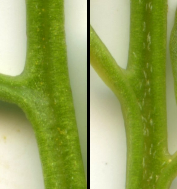 Left: Cascade parsley fern rachis without hairs; Right: American parsley fern rachis with hairs inside the groove