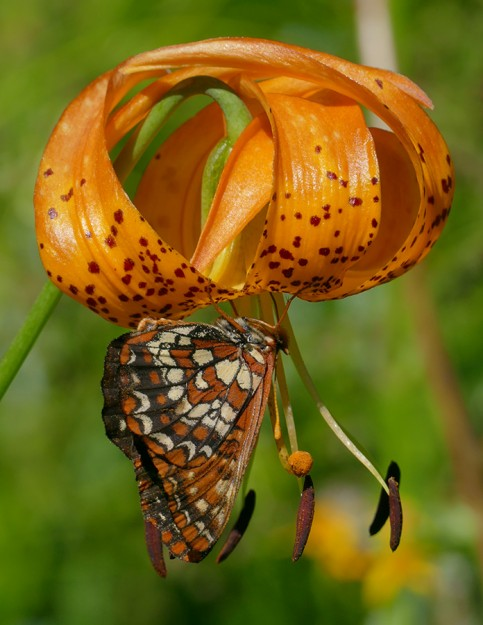 A fritillary nectaring on a large and delicious blossom of leopard lily.