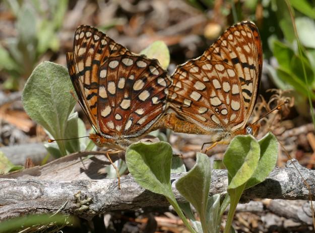 A pair of fritillaries mating