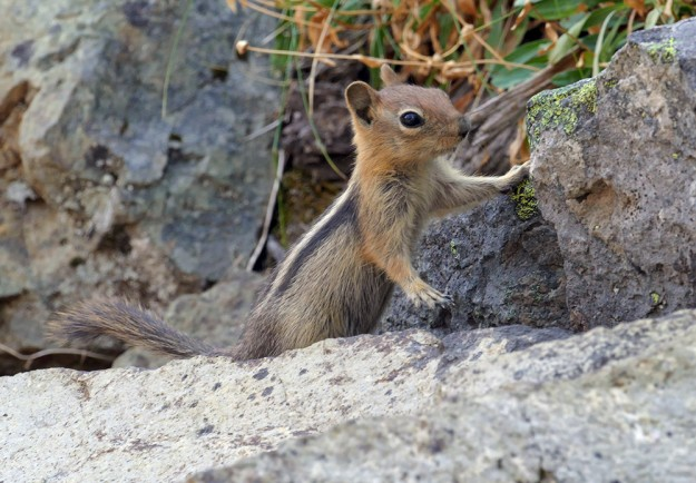 An adorable young golden-mantled ground squirrel was as curious about us as we were about it.