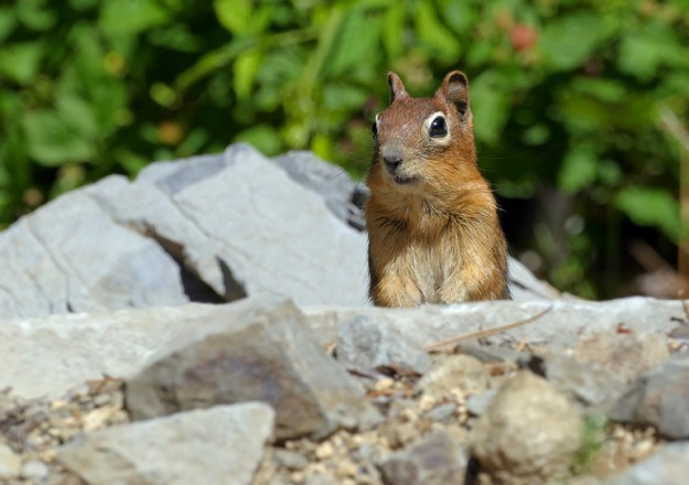 A curious golden-mantled ground squirrel