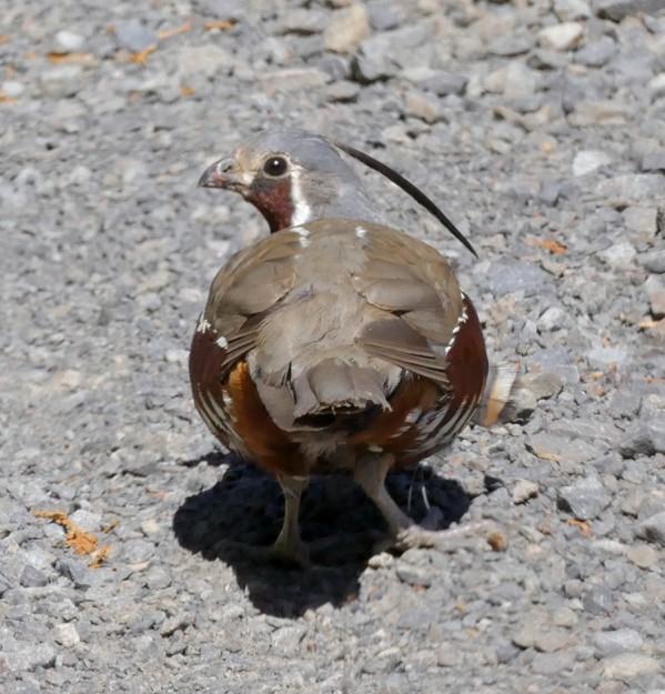 A mountain quail