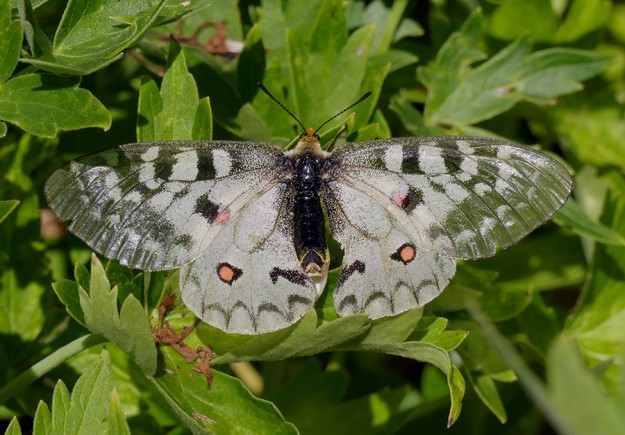 A female Clodius parnassian rests on larkspur leaves.