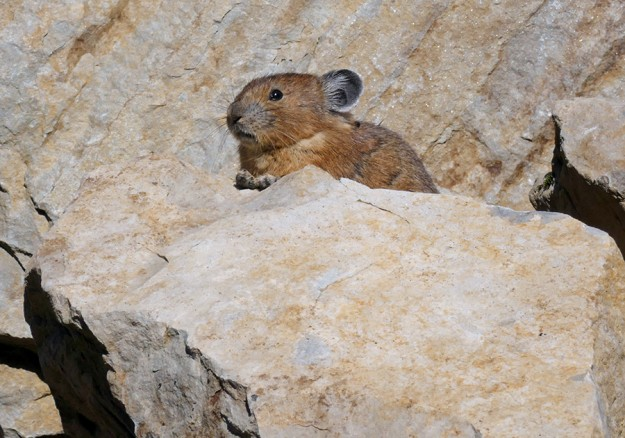 Another of several pikas I saw on the talus slope below the cliffs on the north end of Hills Peak.