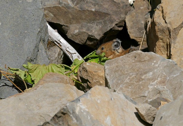 A pika rearranging some thimbleberry (Rubus parviflorus) leaves in its cache.