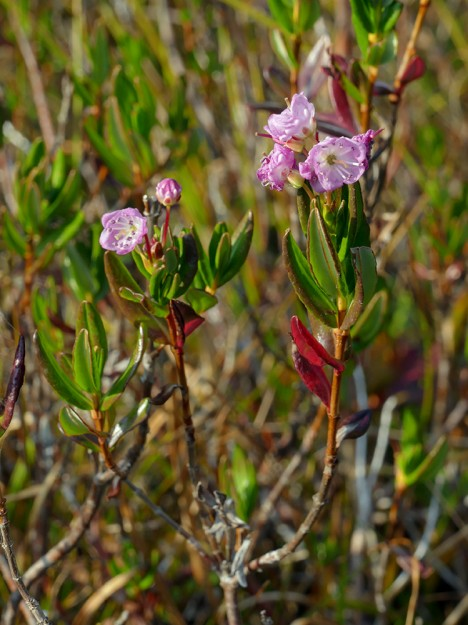 After all my exploring, I didn't have much time left for Patterson, so I only went as far as the Lone Wolf Shelter meadow, where there were dozens of reblooming alpine laurel (Kalmia microphylla) flowers.