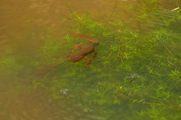 A pair of rough-skinned newts