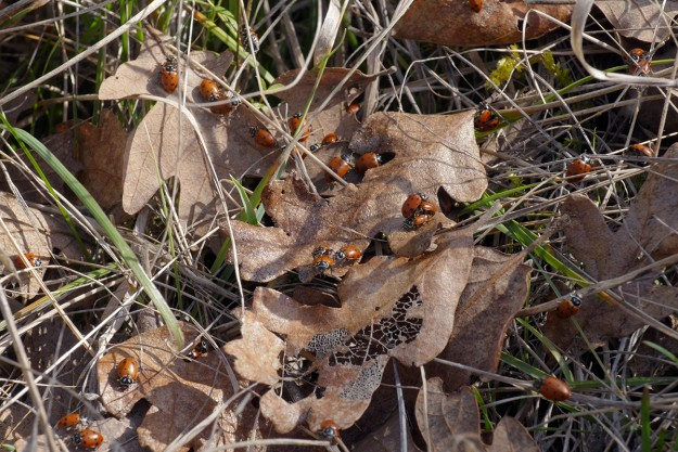 Ladybugs mating at Big Pine Opening