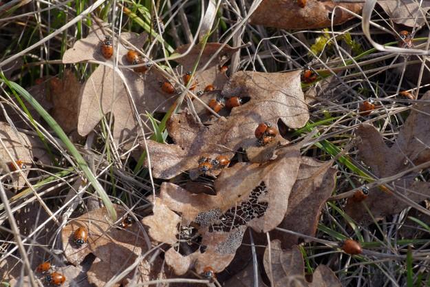 Ladybugs mating at Big Pine Opening