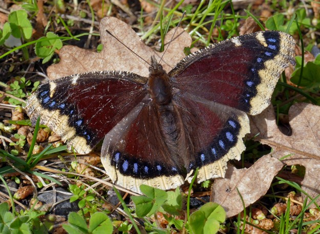 A beautiful mourning cloak basks in the warming sun at Campers Flat