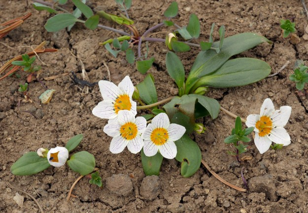 Dwarf hesperochiron is a very early blooming member of Hydrophllaceae. It grows across eastern Oregon, just spilling over to the west of the Cascades in southwestern Oregon.