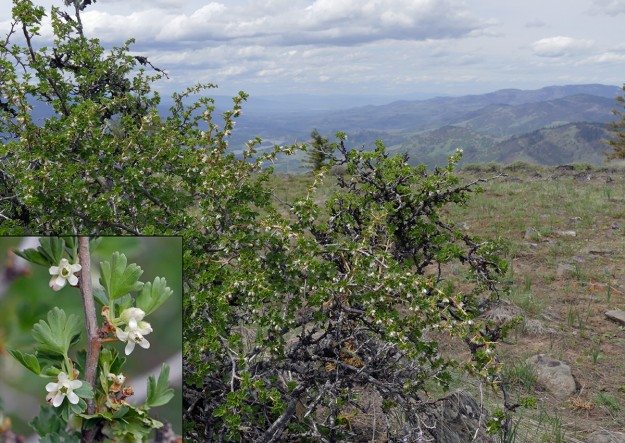 This area must be hot and dry in the summer as evidenced by the desert gooseberry growing here. The inset shows the sweet white flowers and nasty sharp thorns. The view looks north across the Rogue Valley. Grizzly Peak is the highest area on the right side.