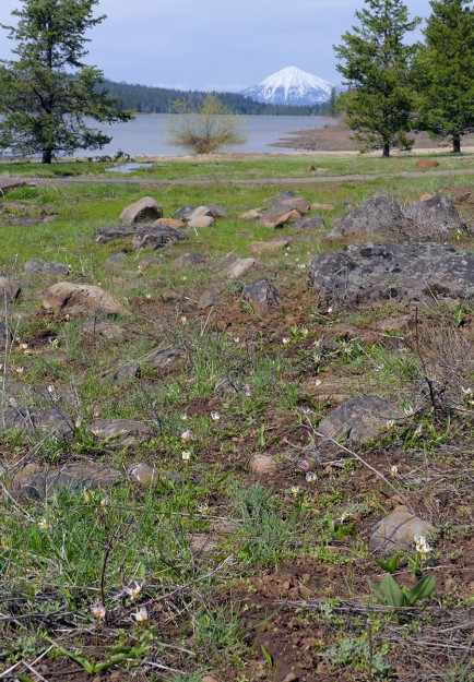 Klamath fawn lilies in the wetland next to Hyatt Lake Reservoir. Mt. McLoughlin is perfectly placed beyond the lake.