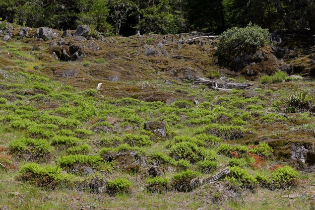 "It can be hard to come up with a good name for a place so one doesn't have to refer to it as ""that rocky meadow off Road 1714"". The masses of Indian dream fern gave us the idea to name the meadow after it. The spring phacelia was perched on the rocky shelves above the ferns."