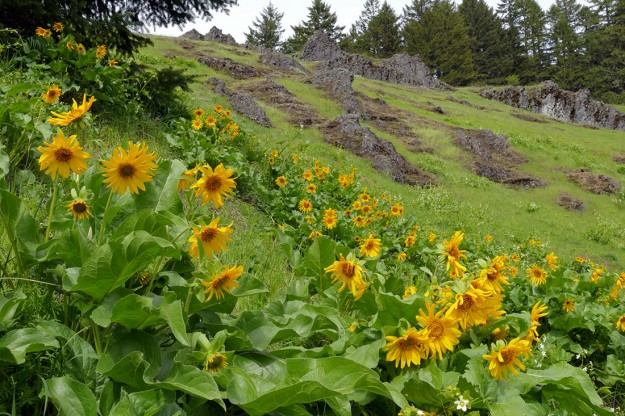 Balsamroot is not that common in the Cascades, so any place is can be seen is really special.