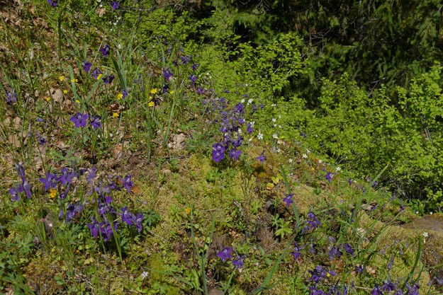 Larkspur and mistmaiden brighten up the northeast end of the meadow above the creek.