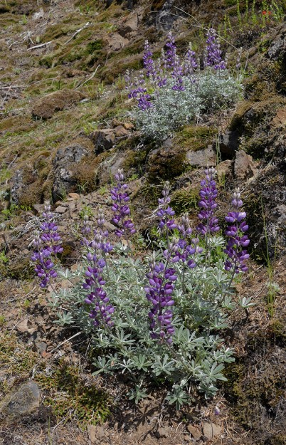 "Silver lupine growing on the outcrops at the western end of ""Indian Dream Meadow"""