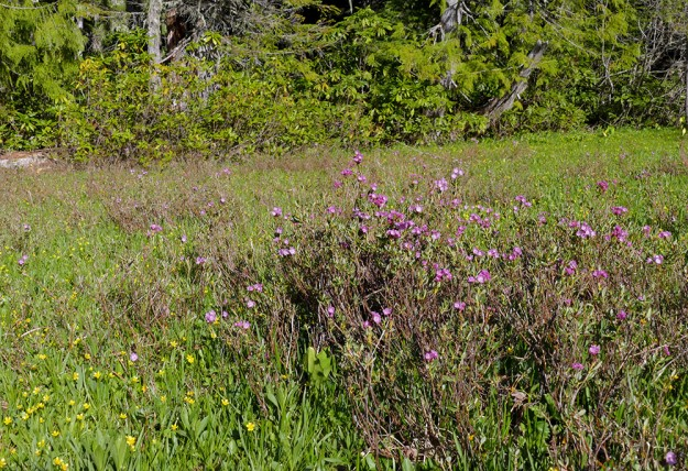 Pink alpine laurel blooming among a sea of bright yellow mountain buttercup at Lone Wolf Shelter.