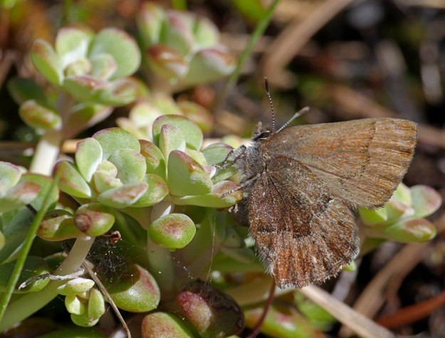 A Moss's elfin on its host food plant, broadleaf stonecrop (Sedum spathulifolium).