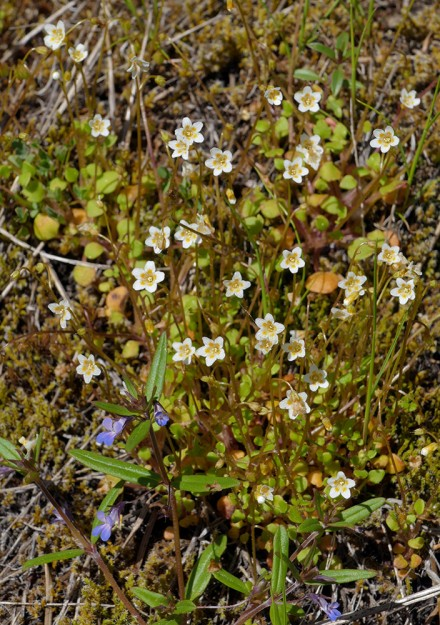 The tiny flowers of Thompson's mistmaiden with the similar-sized small-flowered blue-eyed Mary (Collinsia parviflora)