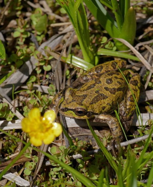 A pretty frog among the mountain buttercups