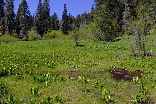 Skunk cabbage is abundant at the bottom of the southside wetland.