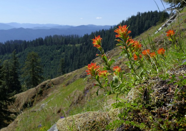 Harsh paintbrush in bloom, looking south across the large east-facing meadow near the beginning of the trail.