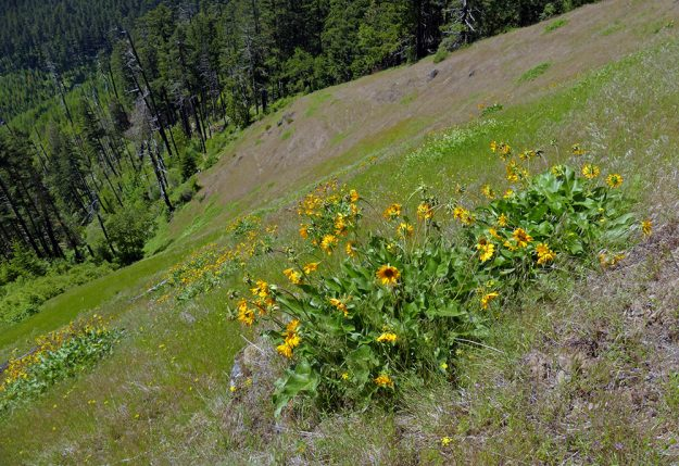 Up close the balsamroot (Balsamorhiza deltoidea) was a little bedraggled, but it still looked quite showy in the very steep, west-facing meadow.