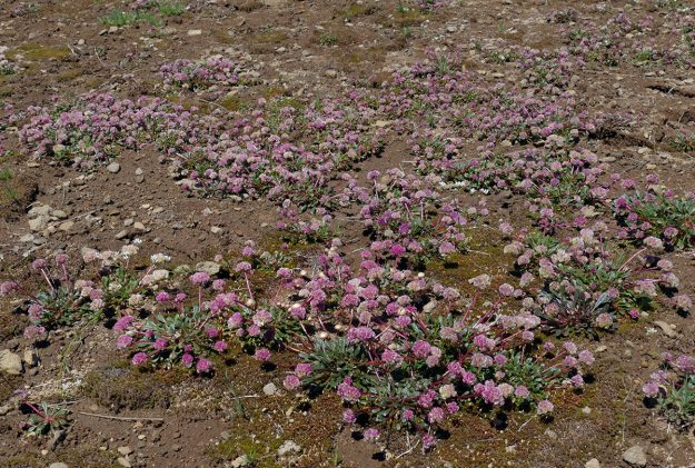 Pussypaws (Calyptridium umbellatum) was at peak bloom on the summit of Lowder. It's not that common a plant, liking open ground like this, and I'd never seen so much of it.