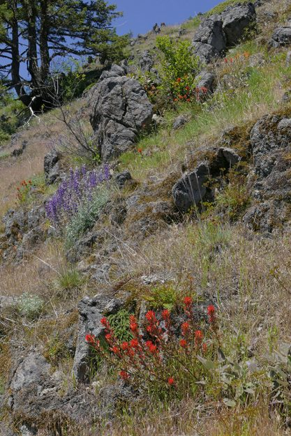 The paintbrushes on the summit are hard to pin down as they are in many spots in southeastern Lane County. They may be a mix of Castilleja hispida and C. pruinosa. But whatever they are, they are gorgeous!