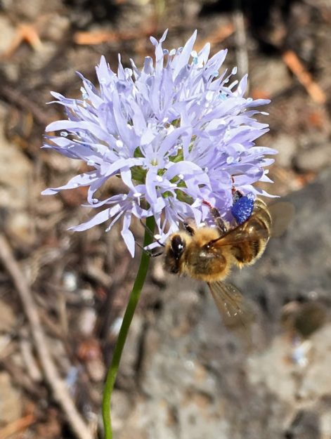 Chandra spotted this unusual sight: a honey bee with blue pollen sacs. Bluefield gilia, as well as some of its other relatives, has blue pollen, but I'd never noticed bees with blue pollen sacs. For an article on other plants with blue pollen, check out Tangled up in blue. Courtesy of Chandra LeGue.