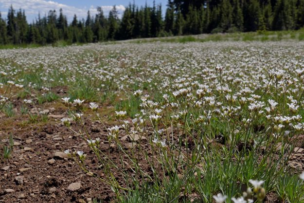There must be acres of pumice sandwort (Eremogone pumicola) on the more or less level summit of Lowder Mountain.