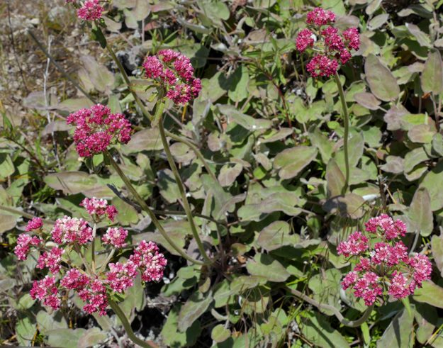 Northern buckwheat (Eriogonum compositum) is usually a rather dull white. The plants on the summit slope had gorgeous deep pink buds, but appeared to be opening to white or perhaps a very pale pink.