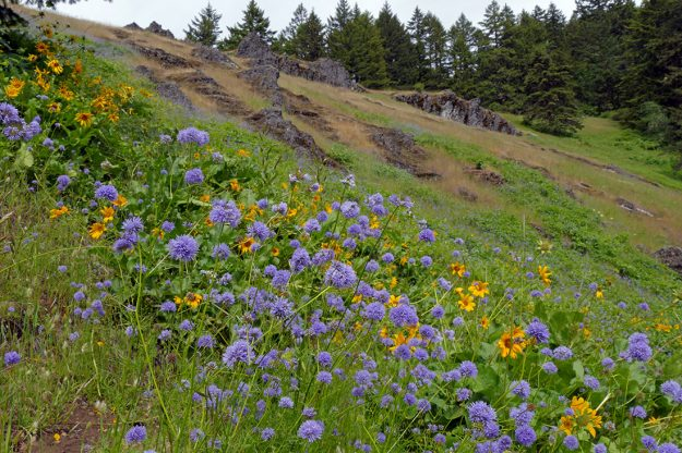 The colorful show of bluefield gilia and deltoid balsamroot at the dike meadow was terrific and, I'm sure, a highlight for everyone on the trail that day.
