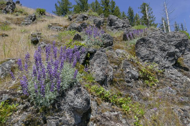 Silver lupine (Lupinus albifrons) is outstanding on the steep, rocky, south-facing slope below the summit.