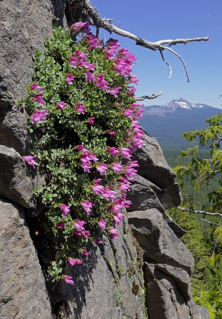 Cliff penstemon can live in the harshest spots and still look beautiful—much nicer than the ones in my garden, which wouldn't even bloom this year. Three-fingerd Jack is in the background.