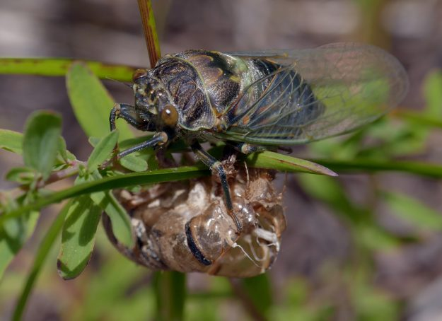 In addition to lots of interesting butterflies and bees, I saw three cicadas, including this newly hatched one.