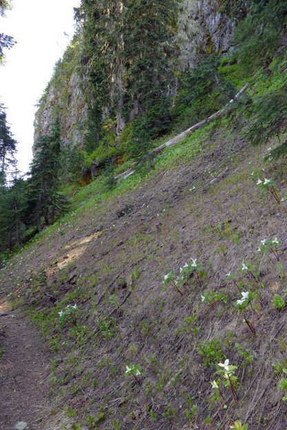 The small slope below the north-facing cliff is deceptively difficult to climb. The bare ground and fresh trilliums are evidence of a recent snowbank—the last to melt.
