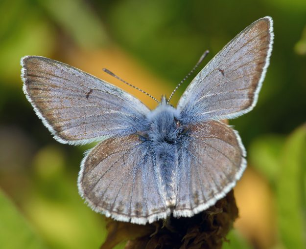 Male greenish blues are brighter blue on the upperside than Sierra Nevada blues, but they share a similar wetland habitat and have the same dark bar on the forewing.