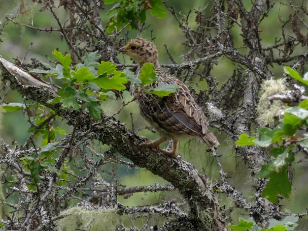On the way down the meadow, I unexpectedly scared up a family of grouse. Most of them disappeared, but this little one landed in a nearby oak where it remained motionless while I zoomed in for a photo from a safe distance.