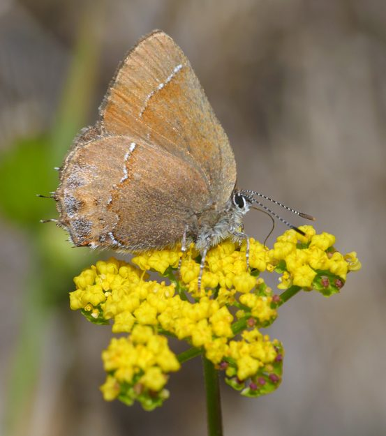 A cedar hairstreak nectaring on spring gold (Lomatium utriculatum), which was abundant but getting quite tall late in its blooming season.