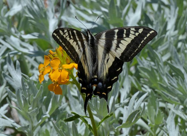 A pale swallowtail on walflower (Erysimum capitatum) at the summit of Horsepasture.