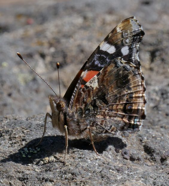 This red admiral had staked out its spot on the summit, returning there repeatedly so I could wait to take its photo.